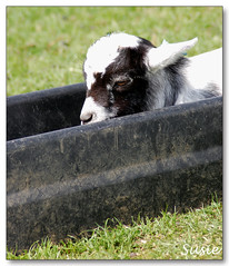 Nothing Like A Water Trough For Forty Winks! (susie 1) Tags: white black silly cute wet water kid cool funny soft sweet adorable sleepy cuddly trough mywinners