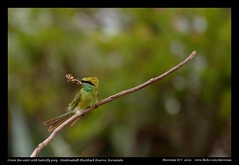 Green Bee-eater with Butterfly prey