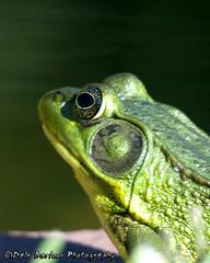 Frog by the Pond (whatUthinkin) Tags: new paris green eye water garden pond bokeh indiana frog eyeball elkhart soe goshen potofgold defries dalebarlowphotography
