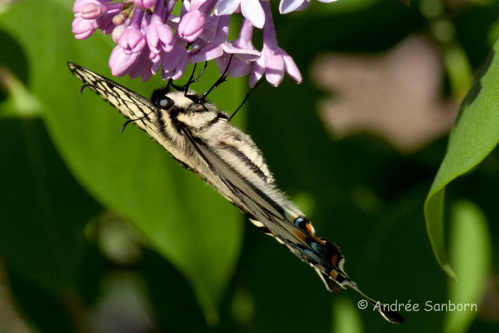 Eastern Tiger Swallowtail (Papilio glaucus)-13.jpg