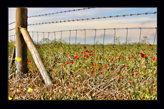 Poppies & Barbed Wire (stmoritz1960) Tags: flowers red wild nature grass fence kent poppies barbedwire camber stmoritz1960