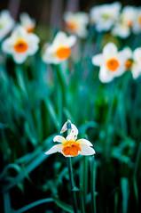 singled out (poopoorama) Tags: plant flower garden botanical washington nikon bokeh daffodil nikkor bellevue d300 50mmf14d