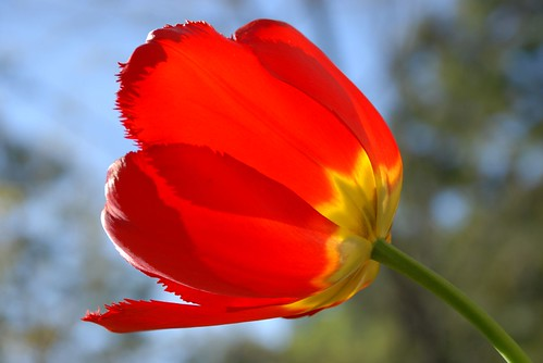 giant dutch tulip