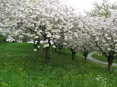 cherry trees (--char--) Tags: park white plant flower tree green nature grass yellow cherry landscape japanese spring path dandelion prunusserrulata
