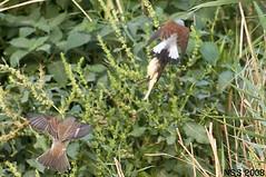 (N-S-S) Tags: bird birds nikon sigma 300mm 28 kuwait nikkor  nasser  nss    vwc       kvwc    alsolihem