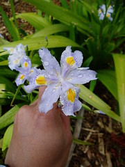 Iris japonica Eco Improved