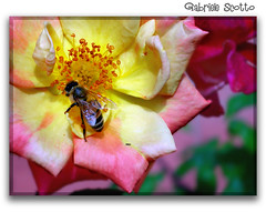 Bee and flowers (gabrielescotto) Tags: pink italy flower macro art colors nikon italia rosa bee ape fiori fiore colori soe procida p1 naturesfinest photografer artisticexpression nikonp1 beeandflowers abigfave impressedbeauty gabrielescotto infinestyle diamondclassphotographer theunforgettablepictures