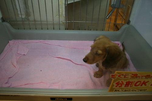 sausage dog puppy in Japanese pet