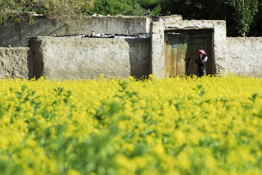 六月帕米爾上的油麻菜花(多圖)