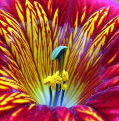 Eruption! (montreal_bunny) Tags: red flower macro yellow garden kartpostal platinumphoto anawesomeshot overtheexcellence macromarvels goldstaraward canona720is macroflowerlovers awesomeblossoms