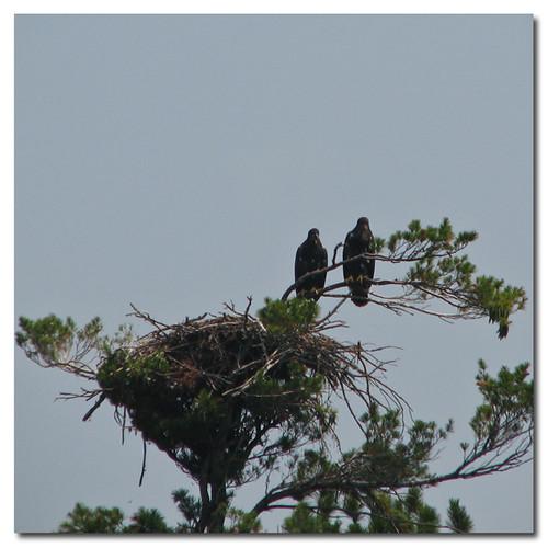 Eaglets #4