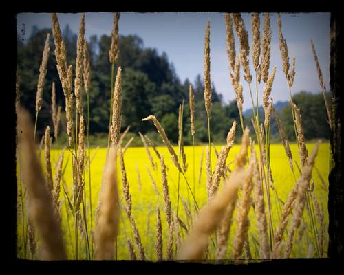 Yellow Flower Lake