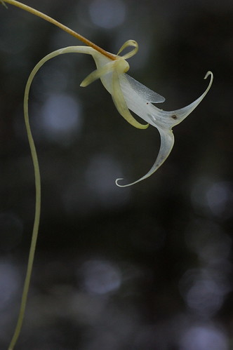 The one blooming ghost orchid we found in Floridas Fakahatchee Strand.