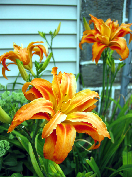 Tiger Lilies (Click to enlarge)