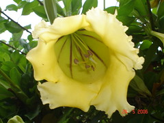 Solandra grandiflora (golden chalice) (Nindy2008) Tags: goldenchalice solandragrandiflora