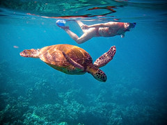 Swimming In Harmony ([ CK ]) Tags: ocean swimming hawaii interestingness underwater schildpad turtle reptile maui snorkeling explore wildanimal honu reef tortuga tartaruga tortue cheloniamydas wailea  greenseaturtle  schildkrte ulua  g9 lookbutdonttouch   wpdc21 canonwpdc21 uluabeachpark