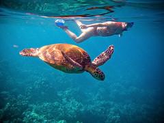 Swimming In Harmony ([ CK ]) Tags: ocean swimming hawaii interestingness underwater schildpad turtle reptile maui snorkeling explore wildanimal honu reef tortuga tartaruga tortue cheloniamydas wailea  gre