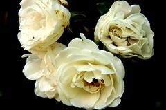 I wanna lay you down on a bed of Roses... (LiesBaas) Tags: roses white holland green beauty pix groen picture nederland thenetherlands pic roos denhaag mooi portret 2008 wit rozen thehague bloemen bloem bloempje bloeien denhaagmarketing liesbb bloeienderozen