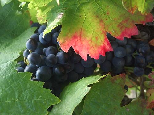 Village Vineyards in August