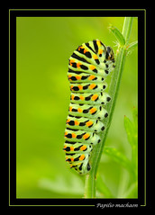Papilio machaon - Le grand porte queue (didier.bier) Tags: france caterpillar swallowtail chenille papilio moselle schwalbenschwanz blueribbonwinner machaon 100mmmacrof28 eos400d grundviller topmacro unjourlaterre collectionnerlevivantautrement legrandportequeue vosplusbellesphotos