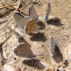 Butterfly Regatta (puffina's idea) (hippobosca) Tags: blue macro turkey butterfly insect butterflies insects lepidoptera schmetterling lycaenidae plebejusargus silverstuddedblue mudpuddling plebejus greentours loewsblue plebejusloewii agrodiaetus easternbrownargus plebejuseurypilus