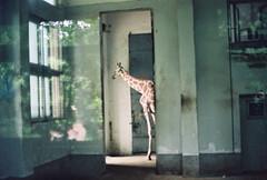 (hibernating little V*) Tags: zoo iso200 tc fujifilm giraffe konica autoreflex