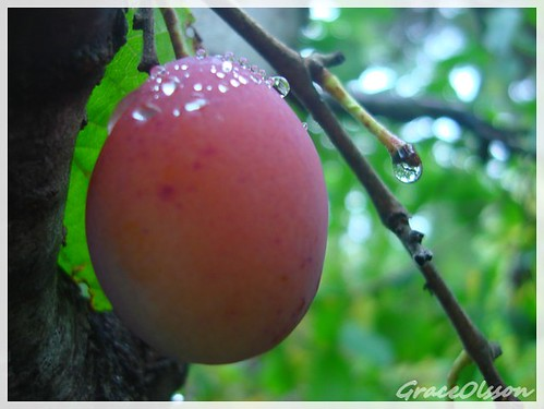 water drops in the sweet plum