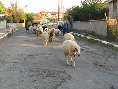 Main street with sheep, Polyanovo, Bulgaria (ali eminov) Tags: sheep villages bulgaria bulgaristan villagehouses polyanovo markomale villagesinbulgaria eeecotourism