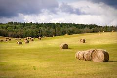 Farmer's Field (Bryan O'Toole) Tags: ontario field grass landscape nikon farm scenic hills haystacks hay hayfield rollinghills haybale haybales northernontario farmersfield dryden nikond80 oxdrift