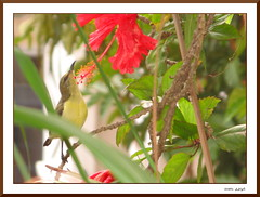 Nectarinia Zeylonica (MalayalaM) Tags: flowers india flower bird animal ilovenature bangalore hibiscus hibiscusrosasinensis karnataka  malayalam37134561n00 aruna sunbird chinarose nectariniazeylonica  bengaluru     pratika  impressedbeauty  japapushpam   rudrapushpam