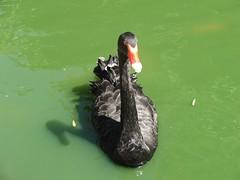 A Black Swan