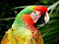 (Paco Espinoza | Photographer) Tags: blue red verde green bird colors birds animal yellow azul fauna mexico rojo francisco wildlife aves colores amarillo alas silvestre parrots cautiverio espinoza fotoarte salvaje flickrfriday nativas guacamayas franciscoespinoza pacoespinoza colorsinourworld visitingmexico pacoespinozacom