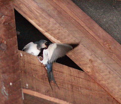 Late September & Late Swallow Chicks, still needing feeding. (JB photographer) Tags: summer england bird nature barn speed kent babies feeding eating flight wing fast insects chick migratory swallow barnswallow visitor hirondelle swoop hirundorustica swallows parenting vite girigiri timing migrant skimming openmouthed newnham migrants rustica hirundo hirundine svala forkedtail summervisitor golodrina copyrightjonathanbarkerphotographer inkonjani nyankalema syndalevalley