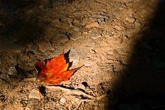 Shadow & Leaf (Thatsanotherdory) Tags: autumn red stilllife leaf shadows annapolisvalley emptyspace
