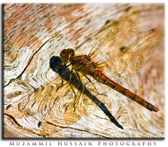 Dragon Fly (Muzammil (Moz)) Tags: fab macro beautiful manchester cheshire dragonfly supermacro moz anteriorview theunforgettablepictures overtheexcellence dunhammessey