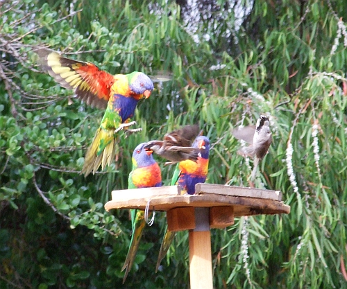 rainbow lorikeets in action 04