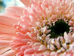 Waiting ...... (TanWei) Tags: pink flower africandaisy