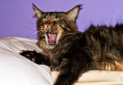 Tired Maine Coon (Andreas-photography) Tags: cat 50mm nikon andrea yawn pillow sleepy mainecoon essex comfy d300 t189 gnpc