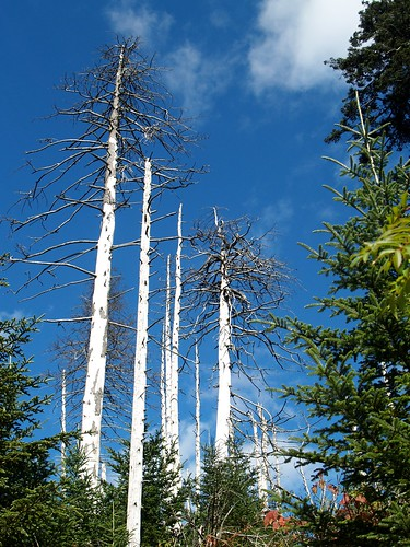Dead trees on Clingman's Dome