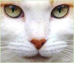 Cats Eyes (S R W) Tags: cat feline whitecat