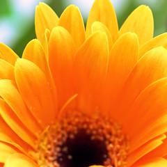daffodils and miracles (janoid) Tags: thankyou miracle gerbera daffodil daisy xoxox xoxoxox xoxoxoxoxo yipppppeeeeeeee pleaseletusknowhowshesdoingafterthevetohthankyoujanthetimeofyearweseemiraclesthemost