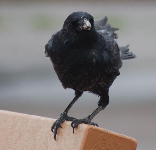 crow3_500x482