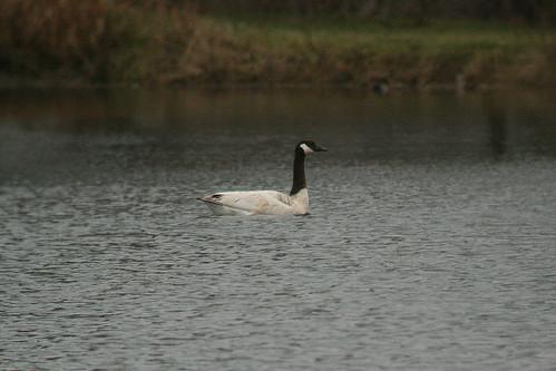 Odd Canada Goose
