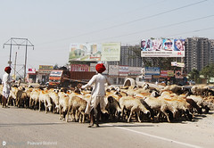 what to eat (Paavani) Tags: red india man cars buildings sheep shepherd series trucks roads 2008 nograss paavani holdings whereareweheading redturbanman