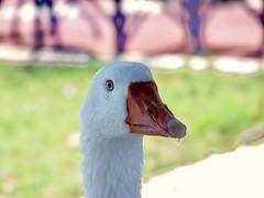 Duck Closeup Potrait (Zopidis Lefteris 2008) Tags: hellas greece macedonia lefty lefteris eleftherios  zop anawesomeshot zopidis zopidislefteris leyteris    eleytherios