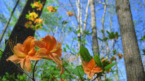 Wild Flame Azalea Trees