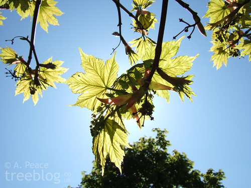 young sycamore leaves - backlit