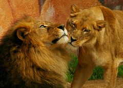 Nuzzles of Love (MickiP65) Tags: california africa wild portrait usa male love nature face animal animals female portraits mammal zoo la us losangeles king cookie faces affection wildlife lion exhibit creation socal lions mostinteresting northamerica lionel lazoo creatures creature 2008 mammals lioness cuddling exhibits animalia mammalia mane losangeleszoo carnivore zoos carnivores snuggling copyrighted africanlion panthera animalportrait carnivora animalportraits animalfaces pantheraleo felidae chordata animalface kingofthebeasts canoneos30d panteraleo pleo michellepearson 121208 animalaffection 12122008 flickrbigcats dec122008
