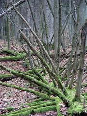 IMG_3248 (benkamorvan) Tags: voyage wood winter tree nature forest hiver poland vert bialowieza foret arbre bois flore ancienne pologne primaire avenirclimat benkamorvan