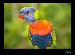 Lory - Jurong Bird Park, Singapore (Souvik_Prometure) Tags: singapore lory jurongbirdpark jurong birdpark souvikbhattacharya